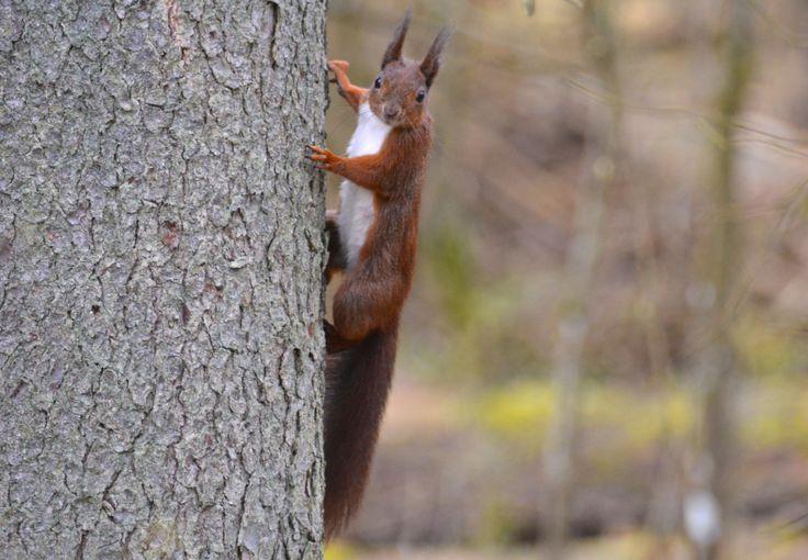 Red squirrel, Bialowieza, Poland.  #Squirrel #RedSquirrel #RødtEgern #Bialowieza #WildPoland #EuropeanWildlife #HenryRasmussen