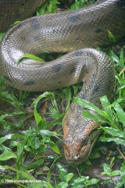 Green anaconda in Colombia   Location: Amacayacu National Park Leticia   Photographer: Rhett A. Butler