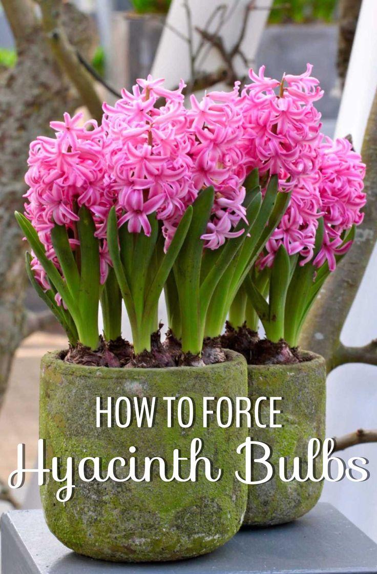 25 best ideas about grow bulbs on pinterest bulbs planting bulbs and spring flowering bulbs - Planting hyacinths indoors ...