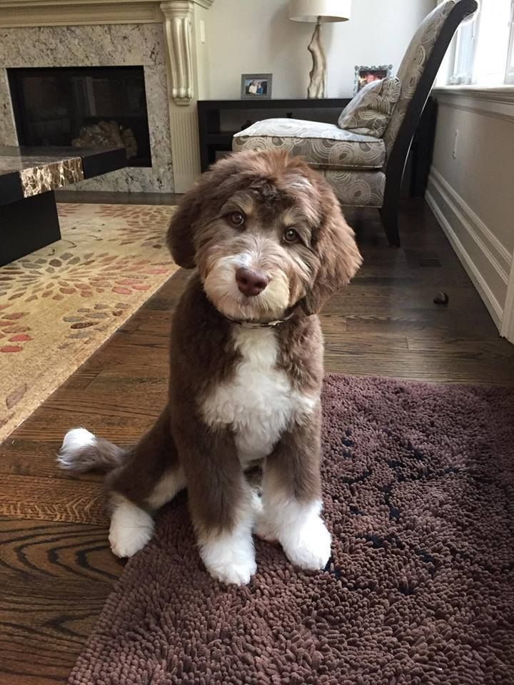 Best 25 Australian Labradoodle Ideas On Pinterest