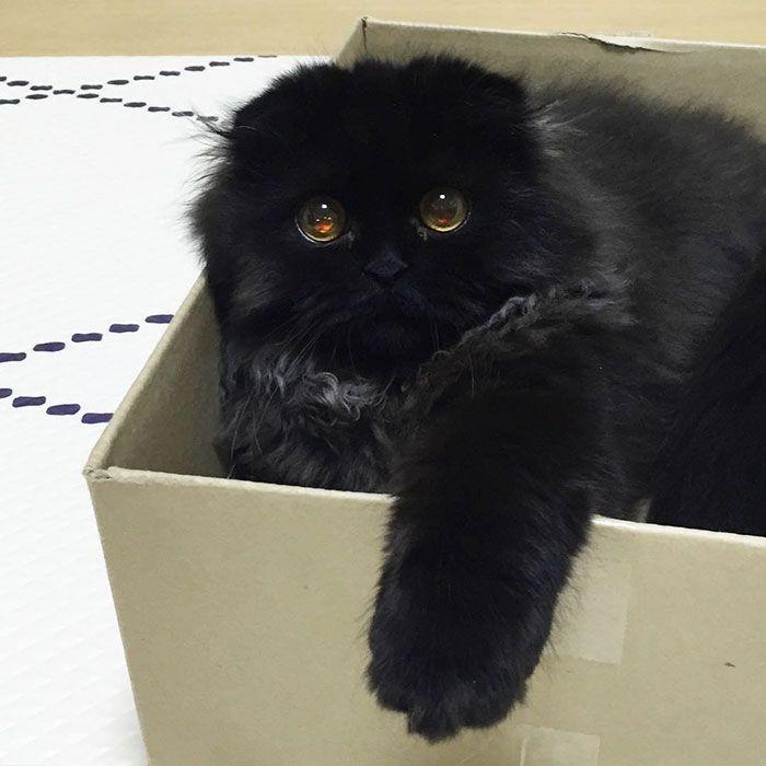 big-cute-eyes-cat-black-scottish-fold-gimo-1room1cat-9 boredpanda.com