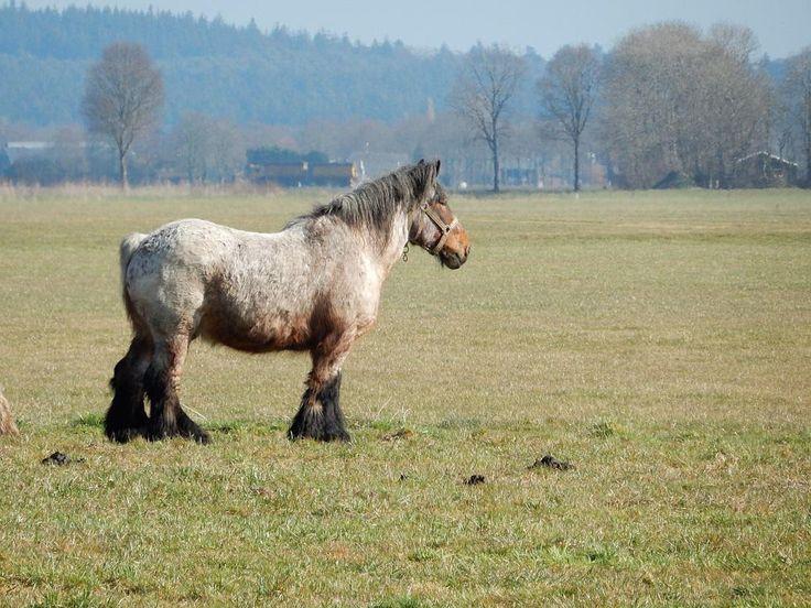 't Belsenspan - Belgisch trekpaard