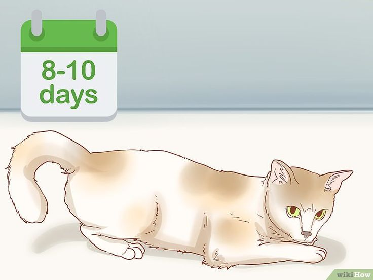 How To Tell If A Cat Is Pregnant 12 Steps With Pictures Pregnant Cat Pregnant Cat Stages Cat Adoption