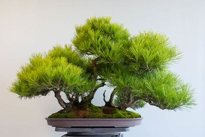 Decandling a red pine forest #bonsai
