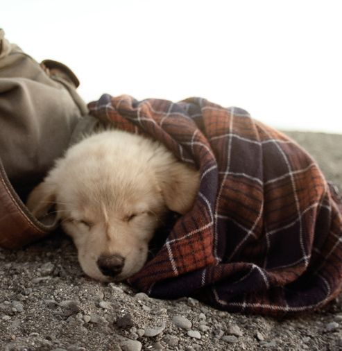 Puppy snuggled in a plaid blanket at the beachh