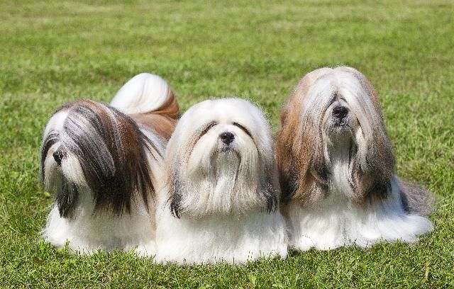 Cães da raça Lhasa Apso