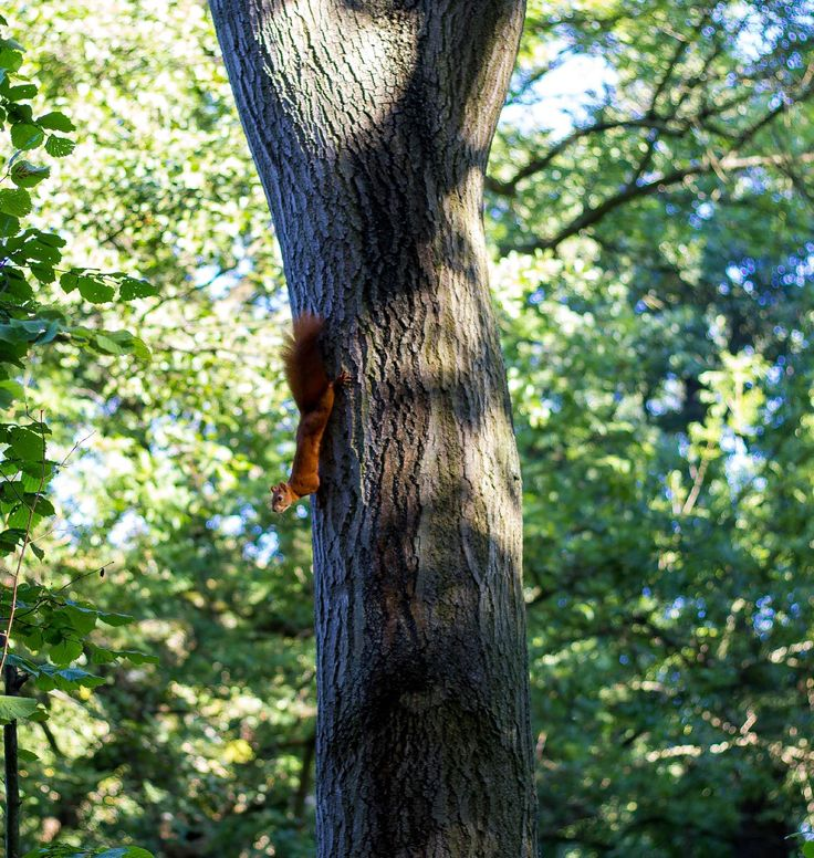 Red squirell - Clickasnap