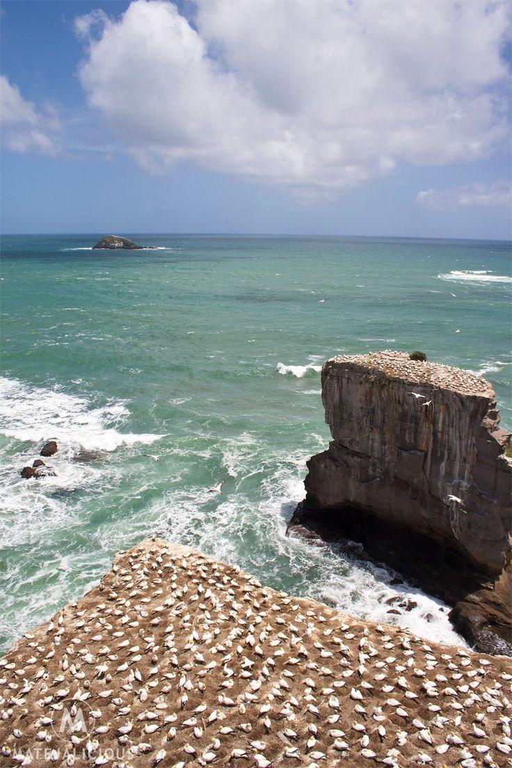 Maori Bay Gannets Auckland - Matejalicious Travel and Adventure