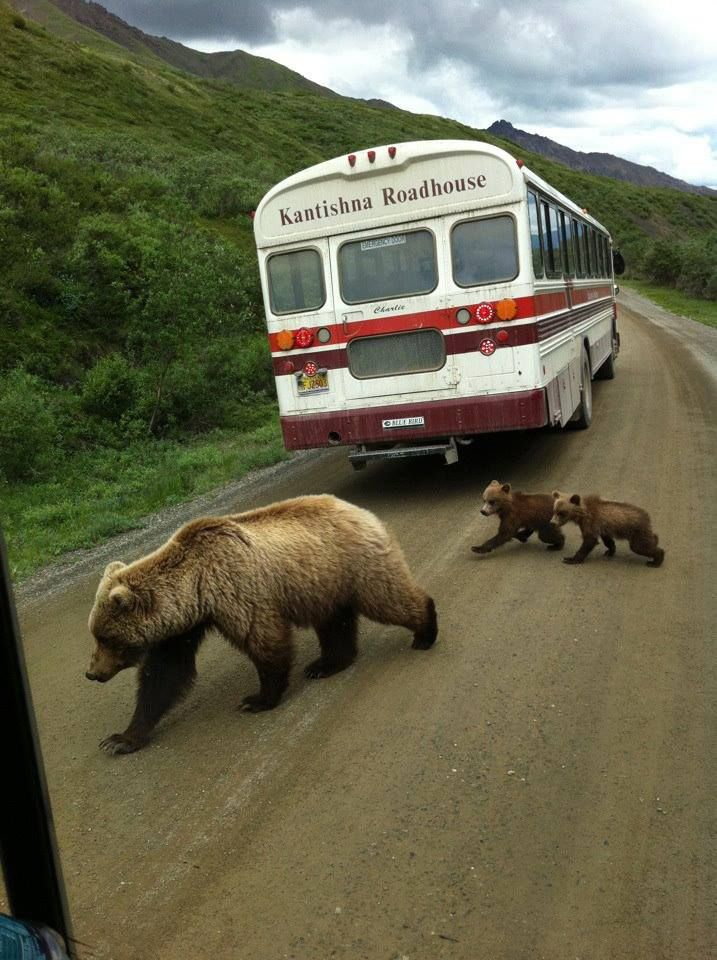 Approach road at Denali National Park and Preserve, Alaska - darn, I just missed…