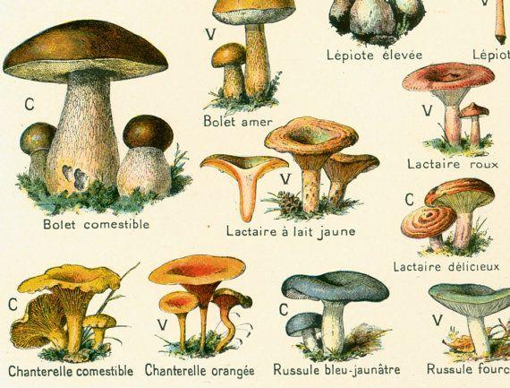 1912 Champignons Identification illustration Planche originale Botanique Larousse  decor vintage 105 ANS D'AGE
