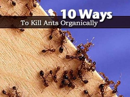 "10 Ways to Kill Ants Organically. Ants are not only a pest that can sting but very often where you find ants you find other pests in the garden. They love the ""sugars"" that other pests secrete. However as much as we may not like ants, we should try as much as possible to stay away from using chemicals for their control. #gardening #pestcontrol"