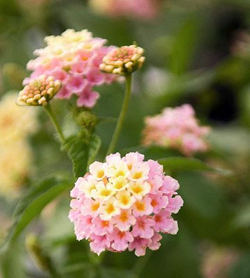 \Landmark Pink Dawn' lantana  Lantana 'Landmark Pink Dawn' offers creamy yellow flowers that mature to soft pink.