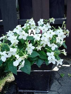 Container Flower Gardening Ideas: White Nicotinia: Container Flower Gardening Ideas: White Nicotinia  Container flower displays don't get much simpler than this one!  Just plant a good quantity of White