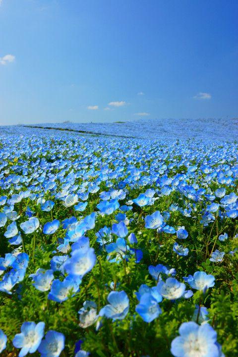 Blue Hill (Nemophila), Fukuoka, Japan #ネモフィラ #Nemophila