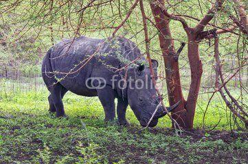 Rhinocéros Noir d'Afrique - Réserve de Bandia (Img.0533)