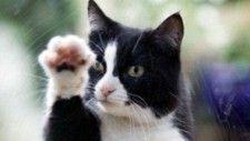 ENFERMEDAD POR ARAÑAZO DE GATO: La enfermedad por arañazo de gato, una infección bacteriana que cursa con inflamación de los ganglios linfáticos, se suele contraer a consecuencia de un arañazo, lametón o mordedura de gato. Más del 90% de las personas que la contraen han estado previamente en contacto con gatos o cachorros de gato.