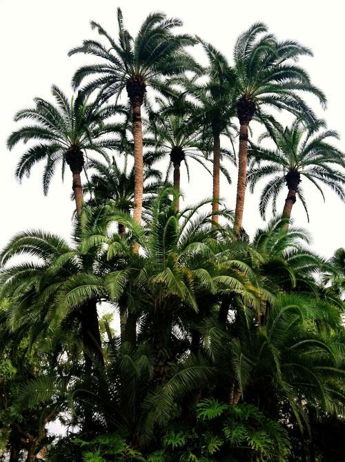 Palm trees.  There are over 2,500 different palm tree species in the world and almost all of them can be grown in Florida. Palm trees can be separated into few major types depending on their trunk, leaf structure, growth rate, size, and cold tolerance.