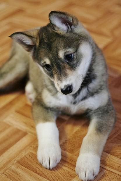 17 Best images about East Siberian Laika on Pinterest ...