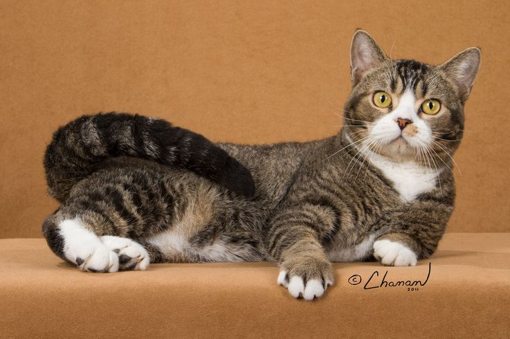 American Wirehair - The American Wirehair sports an exceptional coat, as each hair is bent or hooked, producing a dense, springy coat, with whiskers of the same texture. This breed was developed from the American Shorthair, so apart from the coat, the two display many similarities.