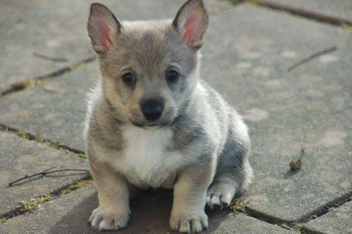 The Swedish Vallhund is a relatively rare breed of dog, saved from extinction during the 1940s.  It is believed that the Swedish Vallhund originated during the age of Vikings, more than 1,000 years ago.