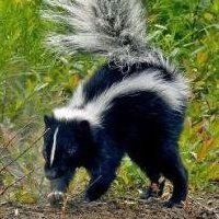 Black and White skunks | The skunk has replaced the Eagle as the new symbol of America .