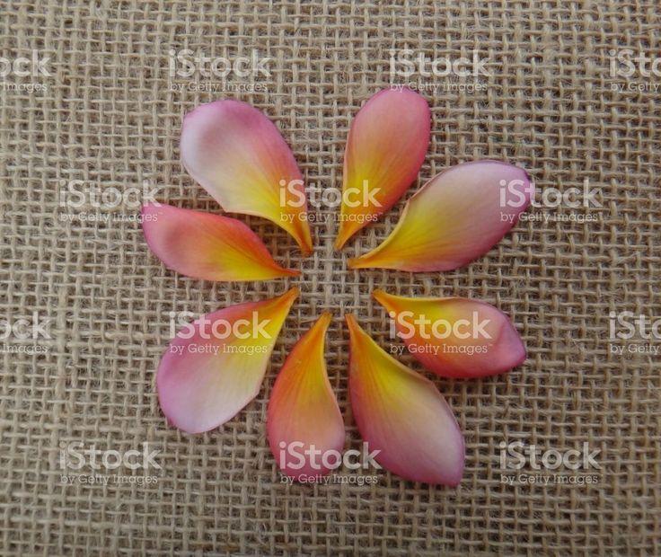 Pétalas de Jasmim-manga cowslip Tricolor ou Jerusalém - projeto da flor foto royalty-free