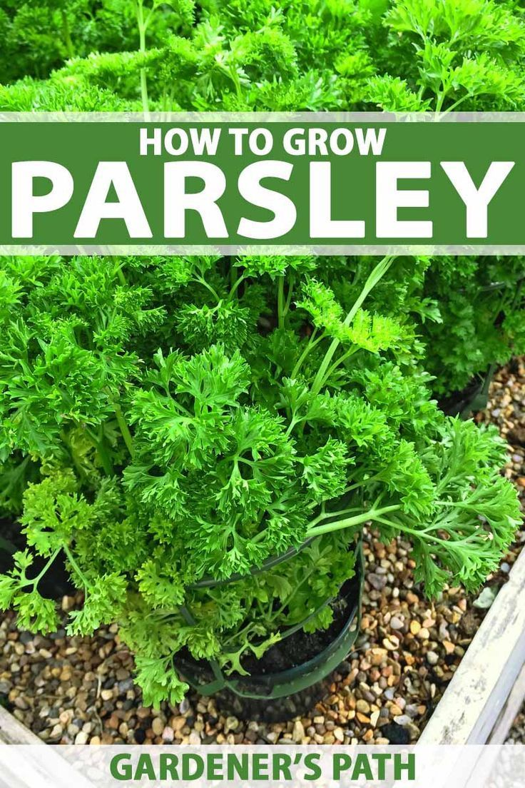 How To Grow Parsley In Your Home Herb Garden Gardener S Path Growing Herbs In Pots Growing Parsley Herbs