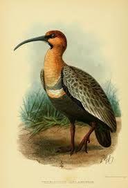 aves de chile claudio gay - bandurria