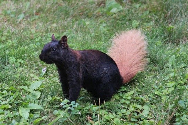 With its mostly black body and contrasting, pinkish tail, this eastern gray squirrel almost seems to be making a fashion statement. This photo was taken in southern Ontario, where there are plenty of eastern gray squirrels, and in a great variety—common gray, speckled, blond, and more. Photo: Courtesy of Dan Doucette (via: TakePart.org)