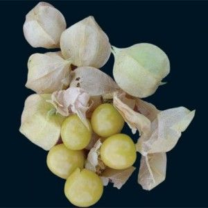 How To Grow A Ground Cherry Plant