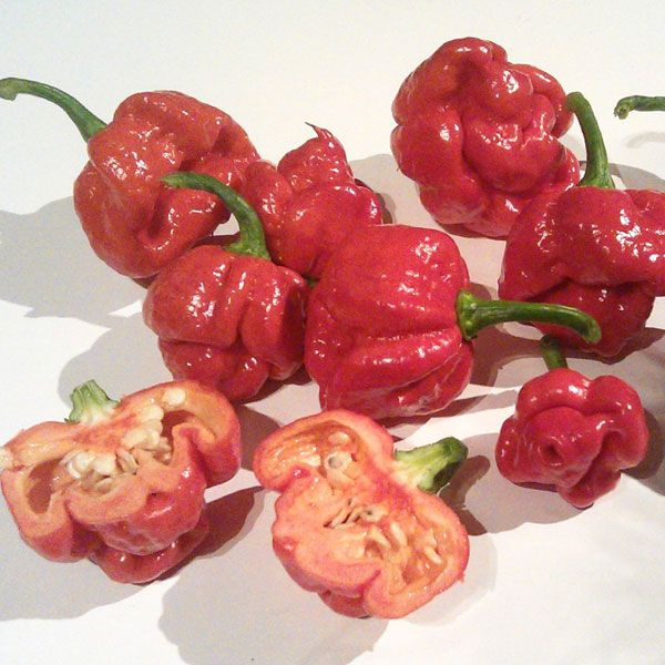 Trinidad Moruga Scorpion. 1,200,000  - 2,000,000 Scoville Units. The New Mexico State University's Chili Pepper Institute identified the Trinidad Moruga Scorpion as the newest hottest chili pepper in the world as of February 2012.