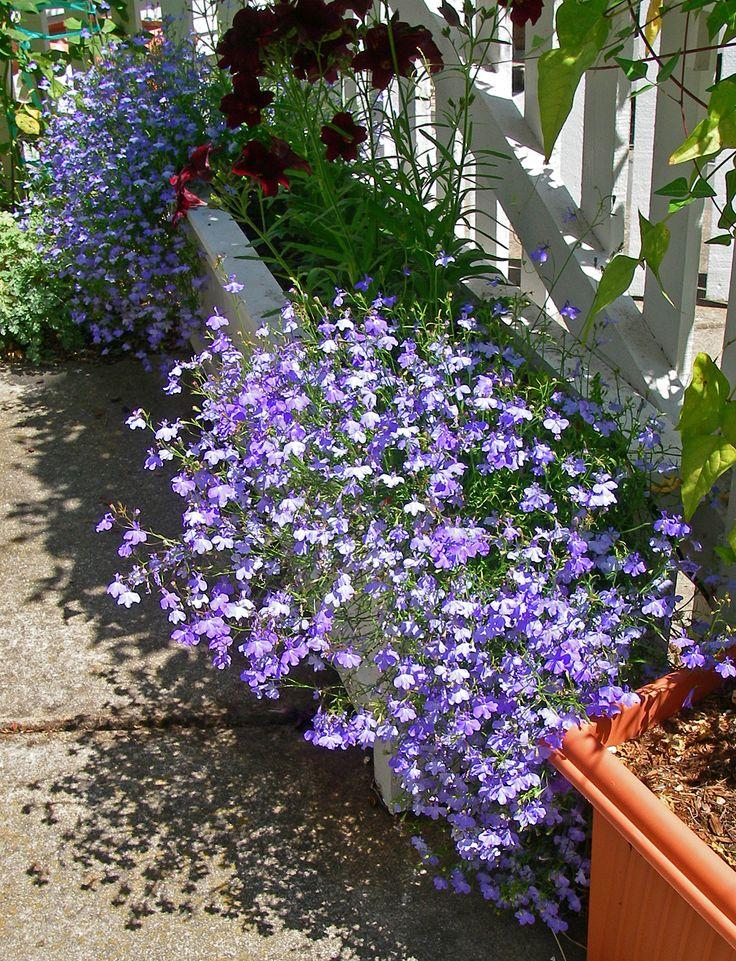 14 Best Garden Trailing Plants Images On Pinterest 400 x 300