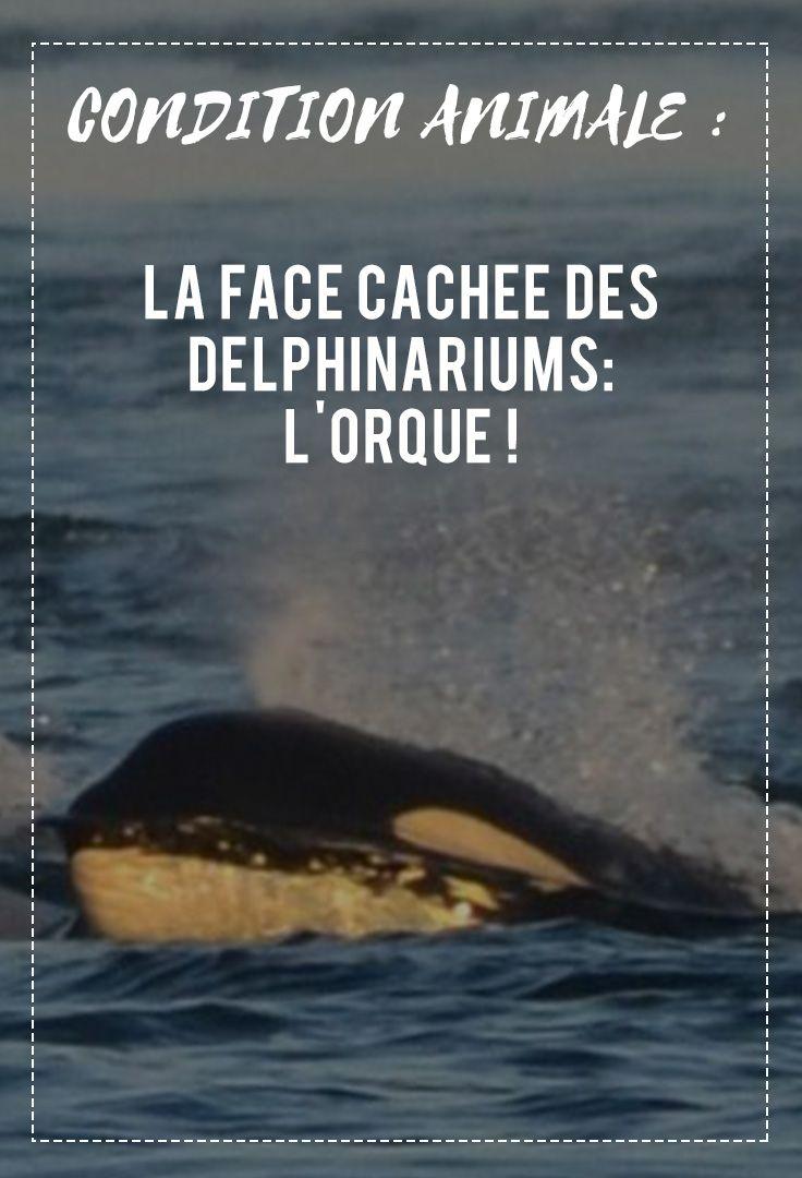 Appelé à tort, baleine tueuse, l'orque est un animal qui a suscité l'intérêt des océanographes grâce aux parcs aquatiques comme Sealand, Seaworld ou Marineland. Que savons-nous aujourd'hui ?