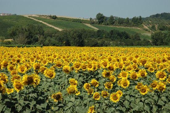 Chianni, Tuscany sunflower's field