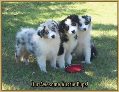 aussies | Circle M Aussies - Toy, Miniature, and Standard Australians Shepherds ...