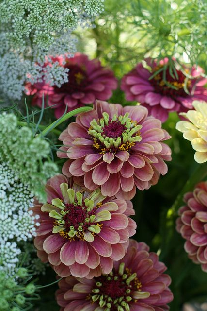 Zinnia Queen Red Lime--love this color with the queen annes lace