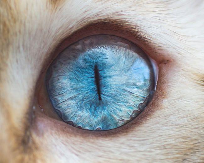 Hipnóticas fotos macro de ojos de gatos