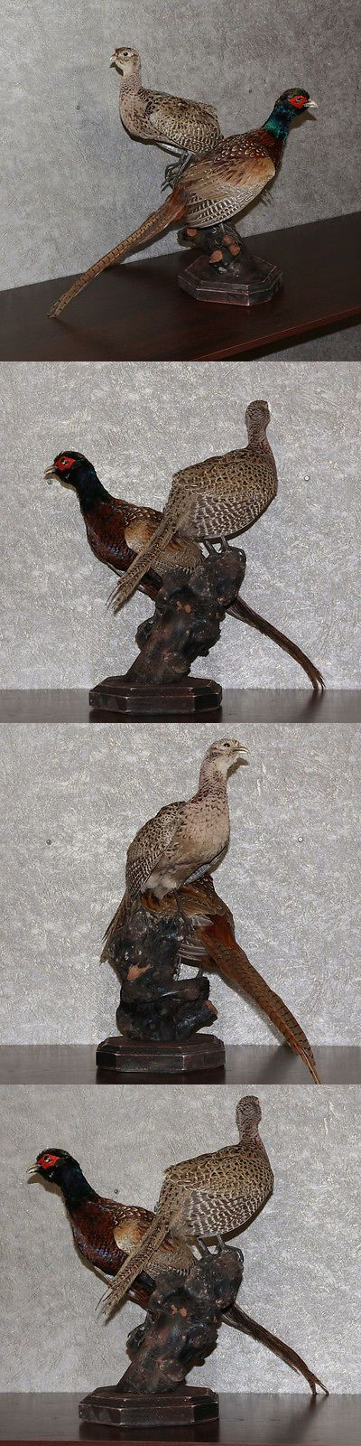 Birds 71123: Ringneck Pheasant - Taxidermy Bird Mount, Stuffed Bird For Sale BUY IT NOW ONLY: $195.0