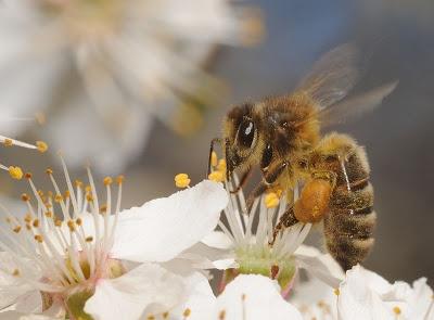 El polen de abeja y sus beneficios para la salud.