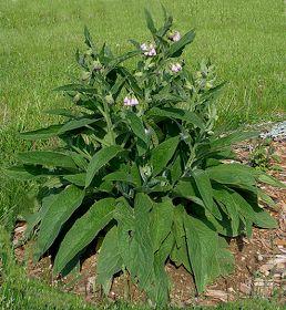 Cómo conseguir tu propio abono natural    La consuelda es una planta perteneciente a la familia de la borraja y es conocida...