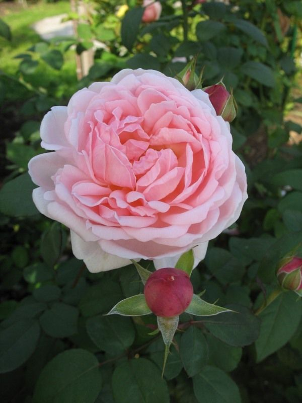 'Spirit of Freedom' | Shrub. English Rose Collection. Bred by David C. H. Austin (United Kingdom, 1998)