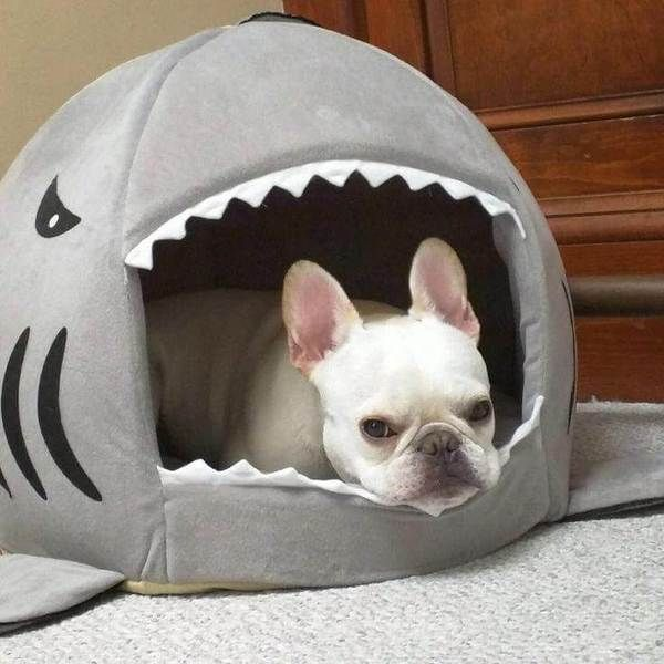 French Bulldog Lying Inside A Shark Dog Bed In Grey Shark Week