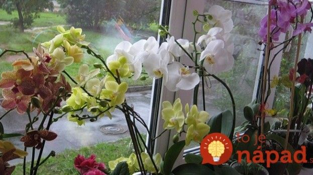 Chcete, aby orchidea v zime rozkvitla do krásy? 7 jednoduchých krokov, ktoré prinesú výsledok!