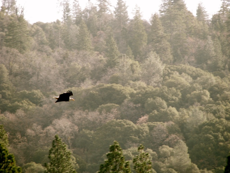 Bald Eagle over the lake out behind the house we were staying in