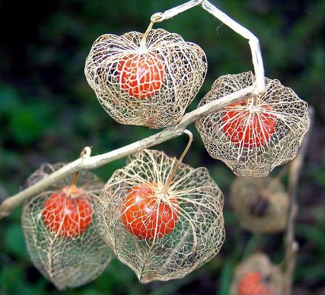 I petali degli Alkekengi, anche detti lanterne cinesi, seccano in estate e diventano simili a una lanterna di carta che avvolge il frutto