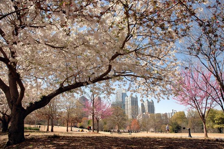 Cherry Blossom Wallpaper Hd The Dogwood Festival At Piedmont Park In Atlanta Georgia