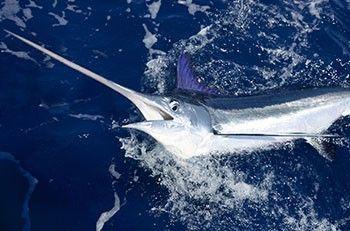 Marlin Fishing Charters