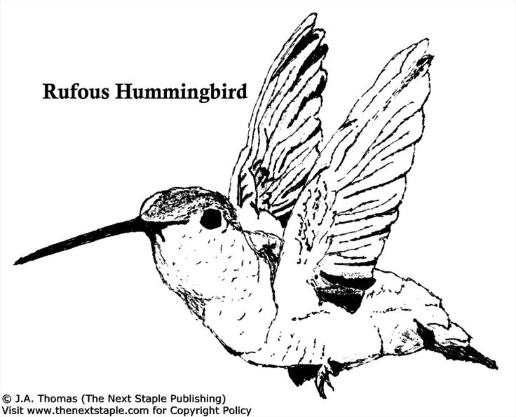 Realistic hummingbird Coloring Page | Realistic ...