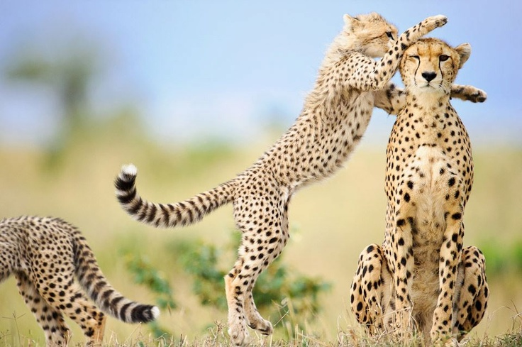 One of six cheetah cubs (Acinonyx jubatus), leaping up to its mother in the Masai Mara, Kenya. Image previously published in Saturday 2nd April editions of The Independent, The Times, The Telegraph online as part of Mother's Day montage. Image has received absolute minimal post-processing restricted to white balance and contrast only. © Elliott Neep