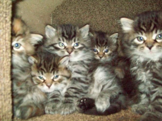 The 25+ best Siberian forest ideas on Pinterest | Kittens cutest baby, Siberian forest cat and ...